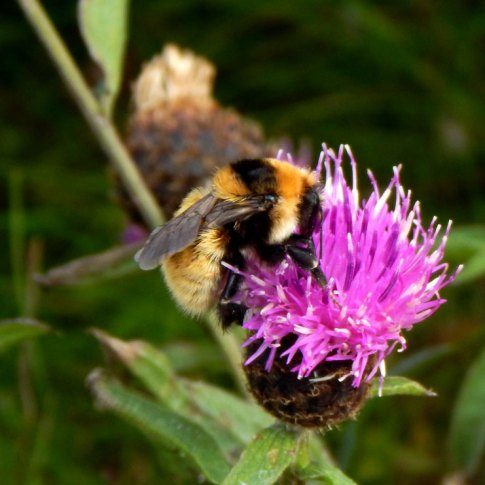 GYBB queen on knapweed, John Bowler